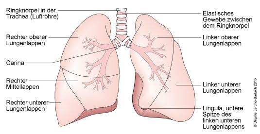 Lunge und Bronchien