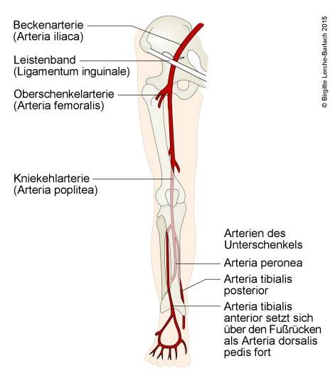 Arterien in den Beinen