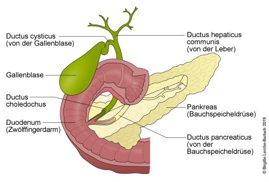 Gallenblase, Gallenwege, Bauchspeicheldrüse