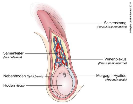 Anatomie des Hodens