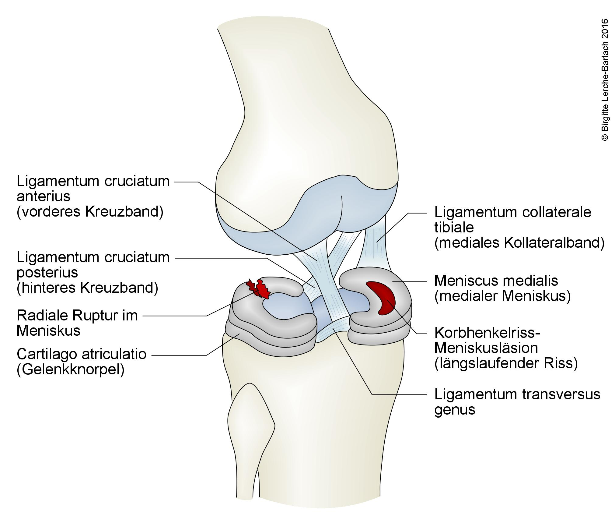 Knie mit Kreuzband, Menisken und Knie-Seitenband