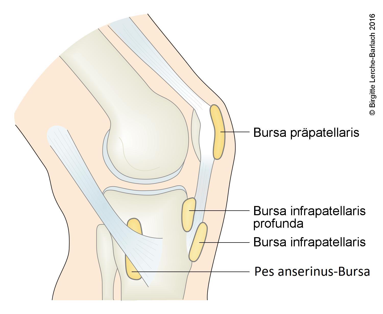 Schleimbeutel am Kniegelenk
