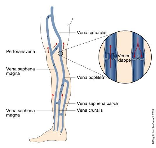 Die Venen im Bein
