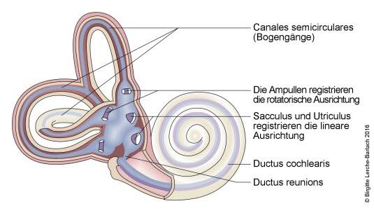 Gleichgewichtsorgan und -nerven im Innenohr