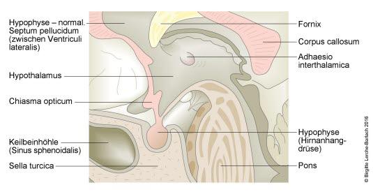 Hypophyse, Normalzustand (Farbe)