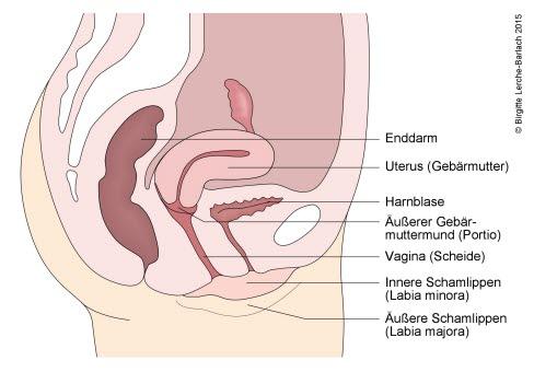 115 Genitalia interna_ Seitenansicht.jpg