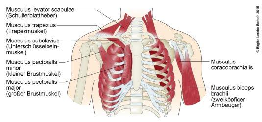 Brustmuskulatur