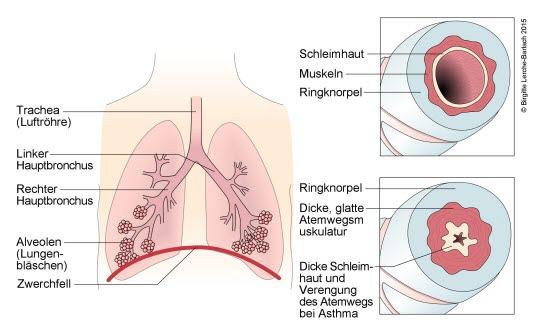 Trachea, Bronchien, Alveolen