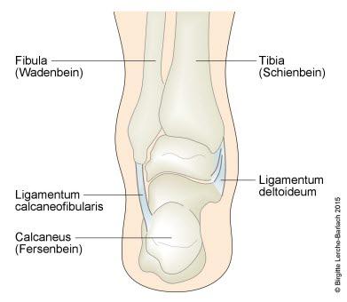 Sprunggelenk mit Ligamenten: Rückansicht