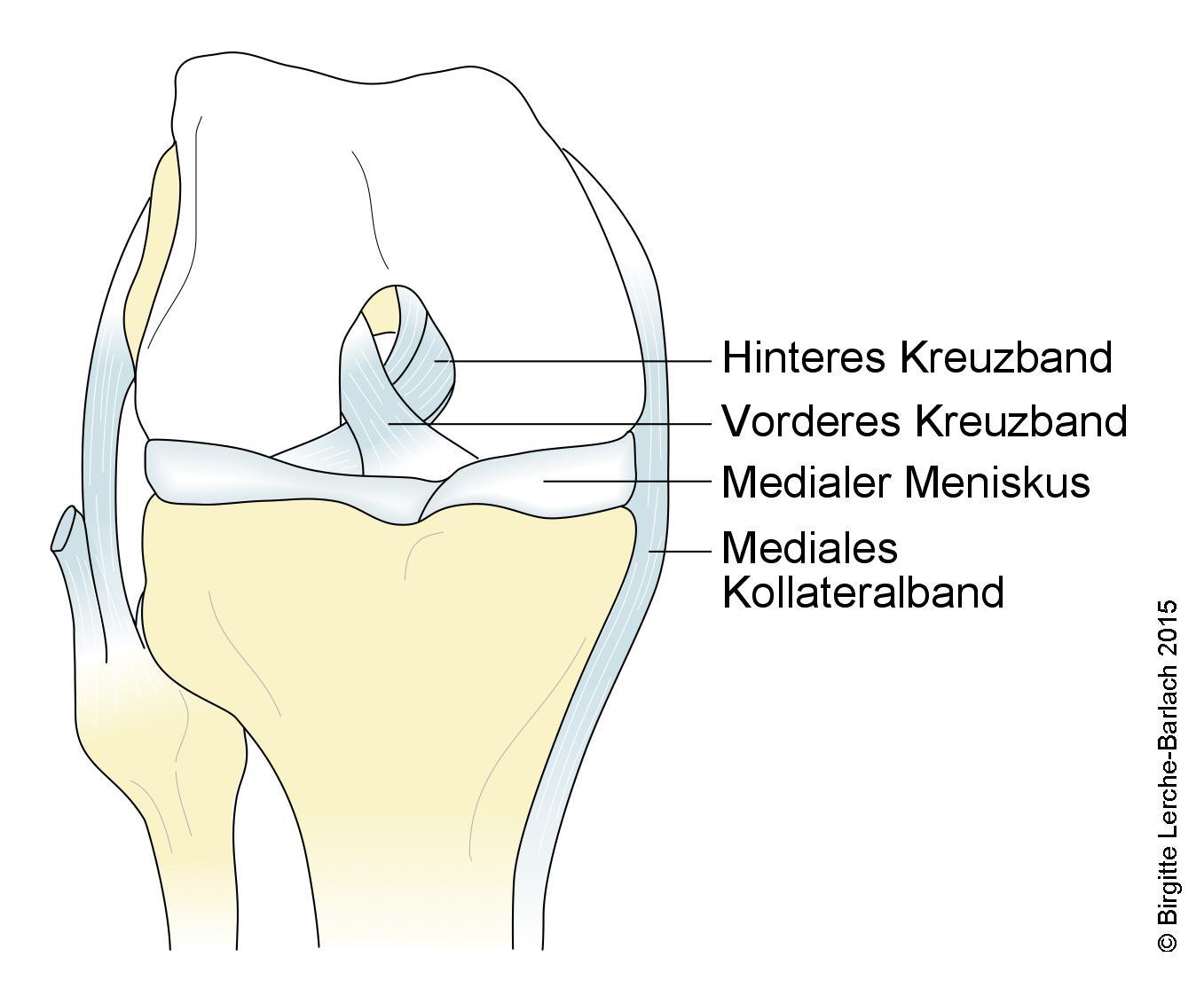 Knie mit Kreuzband, Knie-Seitenband und Menisken, Vorderansicht.jpg