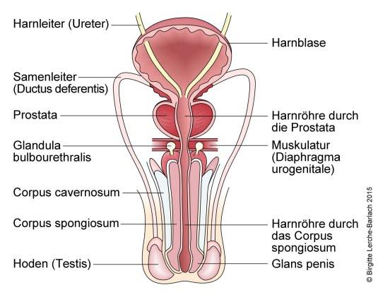 Männliche Geschlechtsorgane